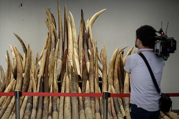 Gambar fail 15 Mei, 2014 menunjukkan seorang jurukamera merakamkan gambar gading gajah yang dirampas sebelum dibakar untuk dimusnahkan di Hong Kong. — Gambar AFP