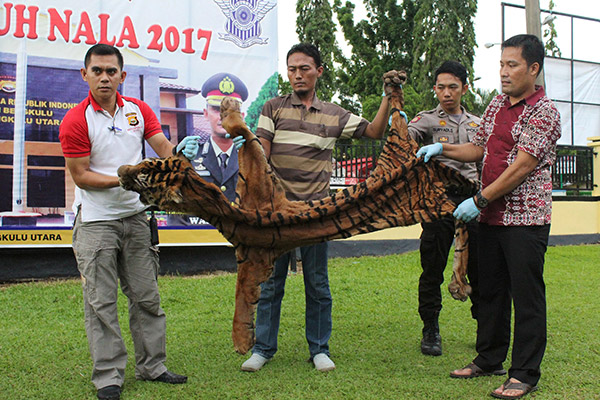 Gambar serahan polis semalam yang dirakam kelmarin menunjukkan beberapa anggota membawa kulit harimau di Argamakmur, Bengkulu Utara. — Gambar AFP