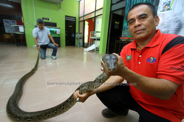 Jangan dekati ular jika tiada pengetahuan | Utusan Borneo ...
