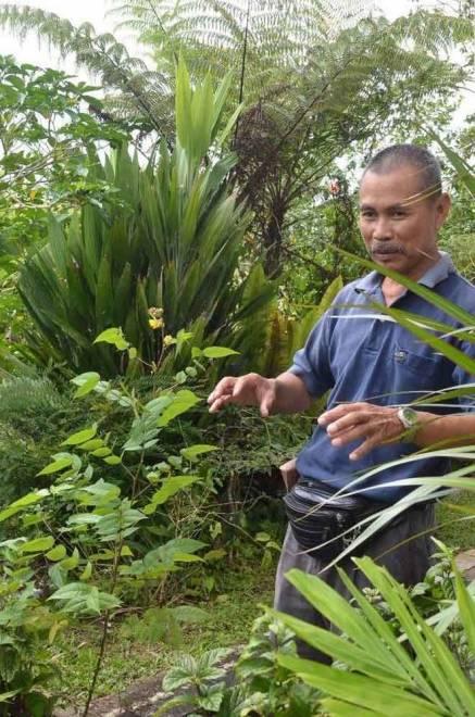 Ajit Mut dari Oya, Mukah meminati tumbuhan herba dan menjadikan tanaman herba sebagai landskap di halaman rumahnya. Beliau juga sangat yakin dengan keberkesanannya.