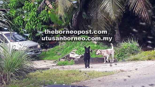 Kehadiran anjing liar di Lorong 2B3 Kampung Tanjung Bundong Fasa Satu mendatangkan keresahan dalam kalangan ibu bapa.