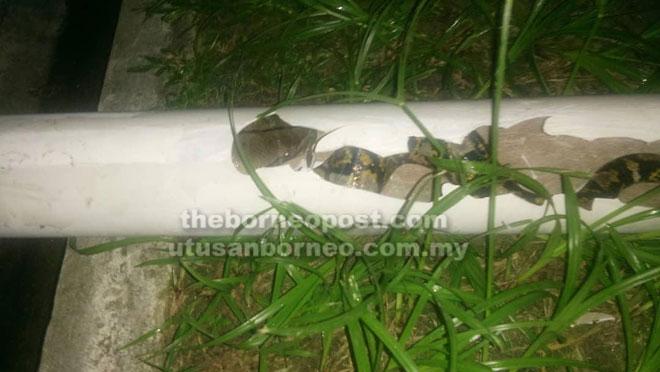 Ular sawa yang berjaya ditangkap ketika menjalar ke dalam saluran paip yang pecah di sebuah rumah di Lutong awal pagi Ahad lalu.