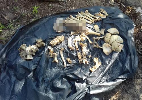 Beberapa tulang yang dipercayai rangka manusia turut ditemui di dalam perut buaya yang tumpas pada mata kail pawang buaya.