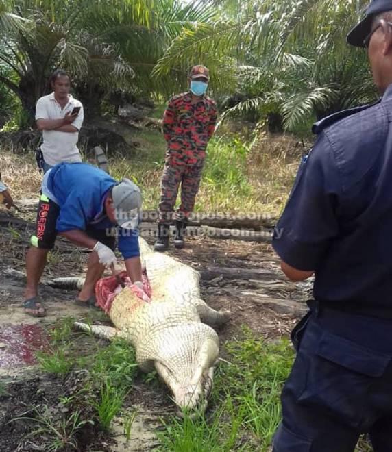 Indet sedang membelah perut buaya sambil disaksikan oleh pihak bomba, polis dan Sarawak Forestry Corporation (SFC).