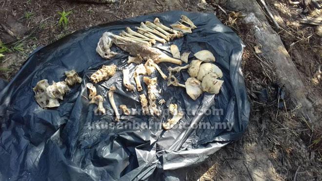 Beberapa tulang yang dipercayai rangka manusia ditemui di dalam perut buaya tersebut.