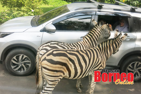 Rocky berusia 40 tahun (asalnya dari Zoo Afrika) adalah spesies kuda nil yang tertua di Bogor.