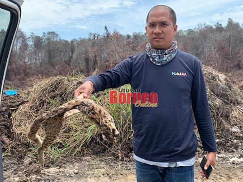 Kucing hutan jadi korban kebakaran di Kuala Baram | Utusan