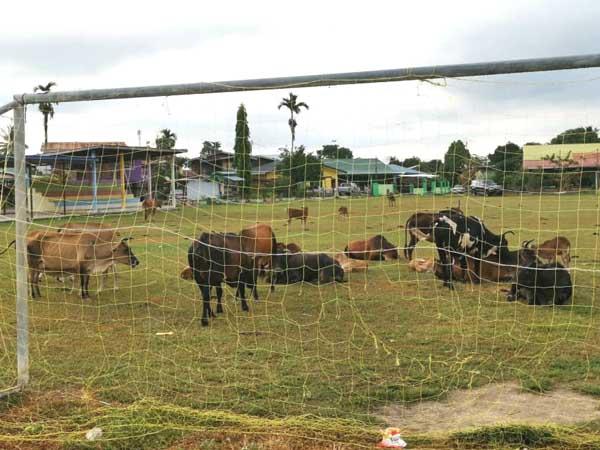 Sebahagian lembu yang berkeliaran dan memgotorkan padang permainan dengan najis di sebuah perkampungan di daerah Keningau.