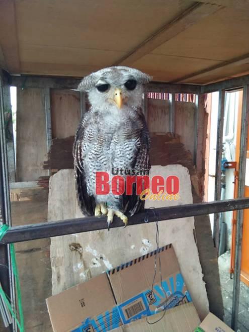 Spesies burung hantu bubu yang jarang ditemui dan dilindungi, berjaya diselamatkan SFC, di Miri pada Isnin.