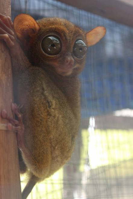 Monyet tarsius terkecil di dunia.