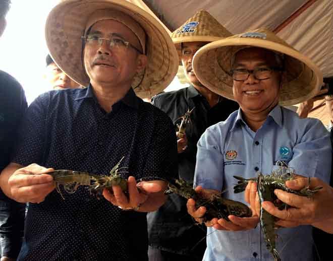 Ronald Kiandee (kiri) dan Ketua Pengarah Lembaga Kemajuan Ikan Malaysia (LKIM) Othman Abdul Latiff menunjukkan udang harimau  yang dituai ketika melawat projek ternakan udang harimau di Sebatu, Jasin semalam. — Gambar Bernama