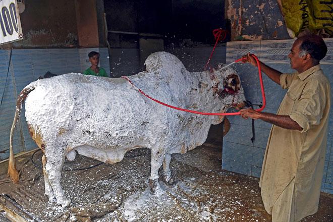 Gambar dirakam pada 27 Julai menunjukkan Sheikh Sagheer menyembur buih sabun pada seekor               lembu sebelum mencucinya di kedai cuci keretanya menjelang sambutan Hari Raya Aidiladha di Karachi. — Gambar AFP