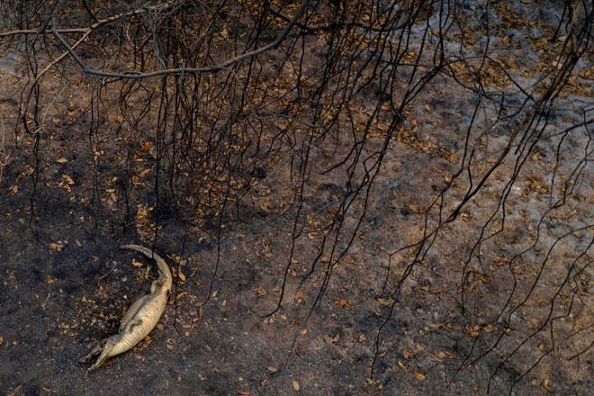 Bangkai buaya dilihat kelmarin selepas kebakaran memusnahkan kawasan paya                 Pantanal di negeri Mato Grosso, Brazil. — Gambar AFP