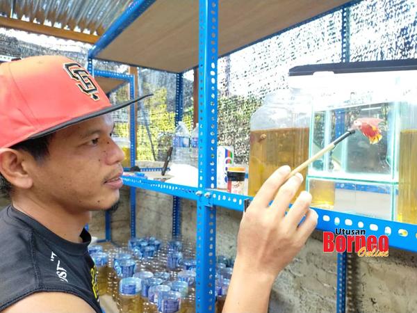 Erwandy melatih ikan laga menggunakan cermin kecil.