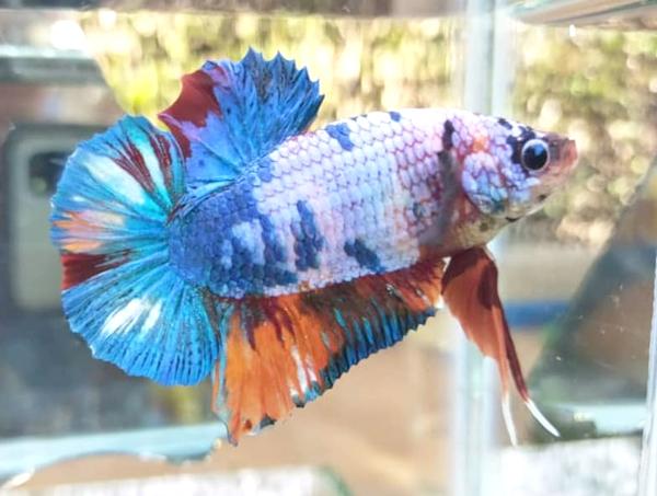 GIANT BETTA FISH