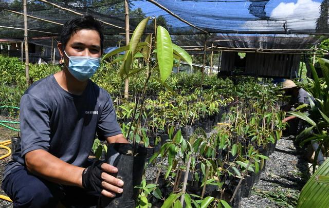 Pengusaha benih durian Donny Ien, 39, menunjukkan anak pokok durian Musang King yang dijualnya di Don Nursery Kampung Rangalau di sini. - Gambar Bernama