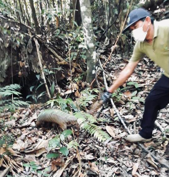 Tenggiling dilepaskan oleh kakitangan SFC di Taman Negara Simalajau.