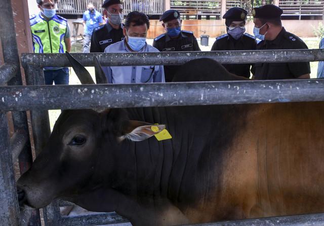 Che Abdullah (depan, kiri) melihat dari dekat sebahagian lembu yang dikuarantin sewaktu lawatan kerja ke MAQISKelantan, Rantau Panjang hari ini. - Gambar Bernama