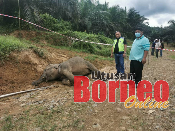 Silvester (kiri) semasa turun ke lokasi kejadian melihat bangkai anak gajah tersebut.