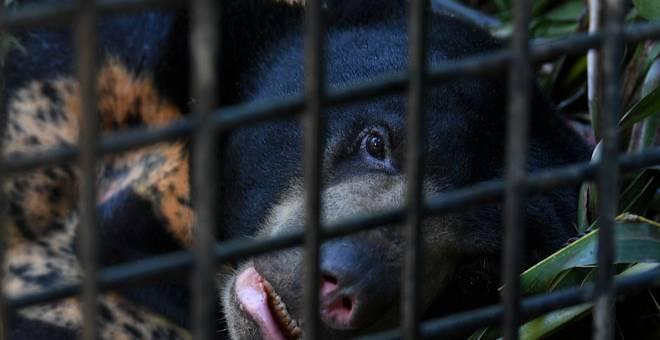 DILINDUNGI: Seekor beruang spesis beruang matahari yang berkeliaran di sekitar Felda Belara sejak dua minggu lalu berjaya ditangkap Jabatan Perlindungan Hidupan Liar dan Taman Negara (Perhilitan) Terengganu di Felda Balara dekat Kuala Nerus, semalam. — Gambar Bernama
