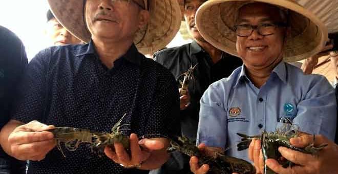 UDANG HARIMAU: Ronald Kiandee (kiri) dan Ketua Pengarah Lembaga Kemajuan Ikan Malaysia (LKIM) Othman Abdul Latiff menunjukkan udang harimau  yang dituai ketika melawat projek ternakan udang harimau di Sebatu, Jasin semalam. — Gambar Bernama