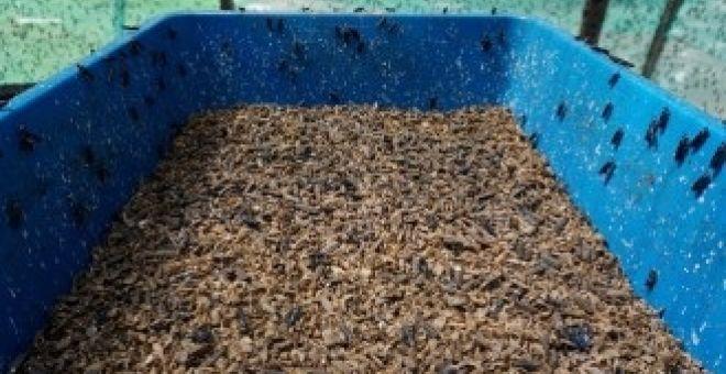 Lalat askar hitam atau larva Black Soldier Fly (BSF) boleh menjadi sumber alternatif bagi makanan ternakan ayam dan ikan.