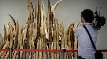 PRODUK HARAM: Gambar fail 15 Mei, 2014 menunjukkan seorang jurukamera merakamkan gambar gading gajah yang dirampas sebelum dibakar untuk dimusnahkan di Hong Kong. — Gambar AFP