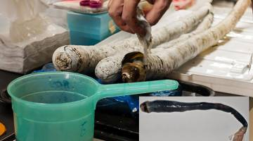 UNIK: Gambar serahan Marvin Altamia semalam menunjukkan saintis di sebuah makmal di Manila membuka bahagian atas cangkerang yang mendedahkan cacing kapang yang tinggal di dalamnya. Gambar sisipan menunjukkan cacing itu setelah dikeluarkan dari cangkerangnya. — Gambar AFP