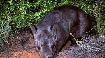 DIANCAM KEPUPUSAN: Gambar serahan EHP semalam menunjukkan seekor wombat hidung berbulu utara muncul dari semak di Queensland. — Gambar AFP
