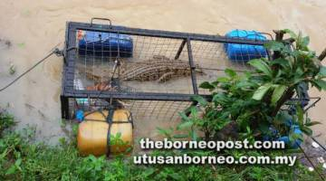 MASUK PERANGKAP: Perangkap menggunakan umpan ayam ini berhasil memerangkap buaya tembaga selepas kira-kira 11 jam dipasang oleh PHL di Sg Kinabutan.