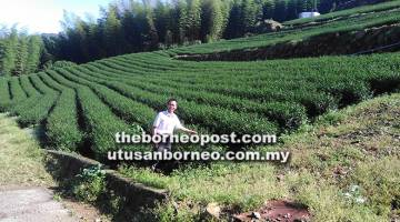 SEGAR: Jaden Ting bergambar di ladang teh yang diusahakan empat tahun lalu tumbuh segar di gunung Ali.