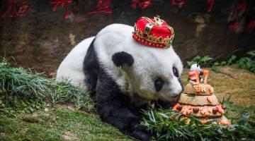 HARI JADI TERAKHIR: Gambar fail menunjukkan 'Basi' menikmati kek hari jadinya yang disediakan oleh pengendalinya di pusat panda gergasi di Fuzhou, China pada 18 Januari lalu. — Gambar AFP