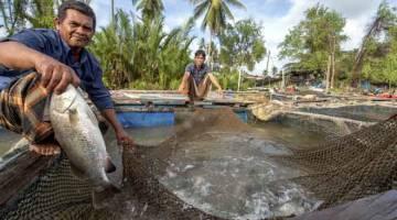 HASIL: Pengusaha ikan siakap dalam sangkar Mohd Noor Mat, 59, menunjukkan ikan siakap yang telah matang daripada sangkar ternakan ikan di sungai Pulau Kundur untuk dijual dI Kampung Pantai Kundur. — Gambar Bernama