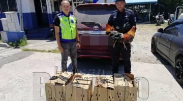 ANGGOTA PPM menunjukkan ayam sabung yang dirampas semasa cubaan menyeludup masuk oleh suspek ke sini.