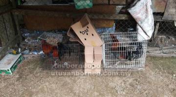 RAMPASAN: Dua daripada ayam sabung hidup yang dirampas dalam serbuan di sebuah gelanggang sabung ayam di Niah petang kelmarin.