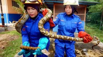 PENYELAMAT: Rashidah (kiri)  dan Siti Hamizah mengendalikan ular sawa yang baharu ditangkap di Pejabat Angkatan Pertahanan Awam Malaysia (APM) Kota Setar dekat Alor Setar, semalam. — Gambar Bernama