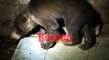Beruang madu diselamatkan dari rumah panjang di Betong pada Rabu.