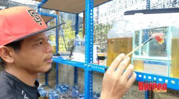SIHAT: Erwandy melatih ikan laga menggunakan cermin kecil.
