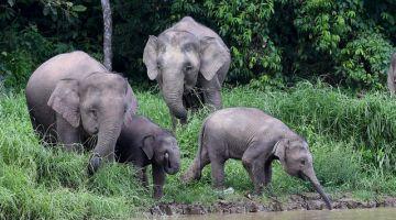 Sekumpulan gajah Borneo atau lebih dikenali sebagai gajah pygmy yang mencari makanan di tebing Sungai Kinabatangan berhampiran Kampung Bilit.