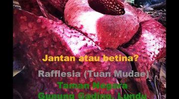 Embedded thumbnail for Mengenal jantina bunga Rafflesia di Taman Negara Gunung Gading, Lundu, Sarawak.