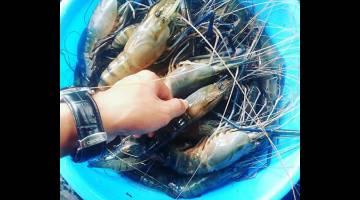 BESAR: Kebanyakan udang yang timbul pada musim ini adalah udang yang bersaiz besar dan bersepit biru.