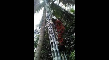 ANGGOTA bomba membawa turun anak kucing dari atas pokok kelapa setinggi kira-kira 12 meter.