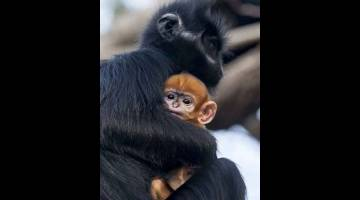 COMEL: Gambar serahan Zoo Taronga di Sydney, Australia menunjukkan anak monyet Francois' Langur yang lahir di zoo berkenaan pada minggu lepas. — Gambar AFP
