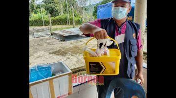 KE PANSIK: Staf ari DVSS Lawas ngambi sampel babi ke mati di Long Tanid minggu siti nyin tadi.